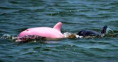 Albino Dolphin #animals #albino