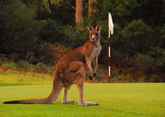If you're strolling along a fairway in Australia, chances are you'll see a kangaroo — or hundreds of them.   #animals #kangaroo #golf #Australia