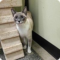 Meet Ryder, an adoptable Siamese looking for a forever home. Siamese, Four Legged, Norfolk, Animal Rescue, Cats And Kittens, Adoption, Creatures, Pets, Homes