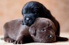 black and chocolate lab puppies! Lab Puppies, Cute Dogs And Puppies, Baby Dogs, I Love Dogs, Brown Puppies, Doggies, Wallpaper 480x800, Wallpaper Lockscreen, Baby Animals