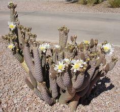 Tephrocactus articulatus var. inermis