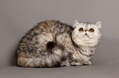 The quiet and docile Exotic Shorthair adapts easily to any environment, getting along well with dogs and children. Read more about the breed here: http://www.petguide.com/breeds/cat/exotic-shorthair/