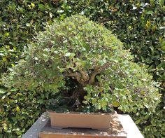 Encina. Quercus ilex. http://www.elhogarnatural.com/bonsai.htm
