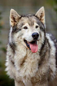 El lobo (Canis lupus) es una especie de mamífero placentario del orden de los carnívoros