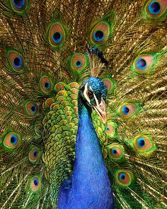 Pfau in der historischen Altstadt von Havanna, Kuba / Peacock in the historic centre of Havana, Cuba, Bild Peacock And Peahen, Male Peacock, Indian Peacock, Peacock Painting, Peacock Art, White Peacock, Peacock Feathers, Peacock Pictures, Bird Pictures
