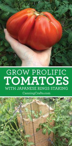Grow Prolific Tomatoes Using Japanese Rings Method - Rowen Killimister Growing Tomato Plants, Growing Tomatoes, Growing Vegetables, Organic Container Gardening, Organic Gardening Tips, Sustainable Gardening, Vertical Vegetable Gardens, Indoor Vegetable Gardening, Tomato Stakes