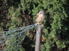 Minha casa, minha janela, meus pássaros Gavião migratório. #saopaulo #amenimario #marioameni #gavião