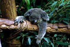 27 Cute and Cuddly Koala Photography Beautiful Creatures, Animals Beautiful, Cute Animals, Scuba Diving Australia, Australian Road Trip, The Wombats, Pool Accessories, Koh Tao, Koala Bears