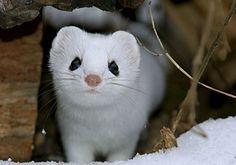 Adorable Snow Ferret~