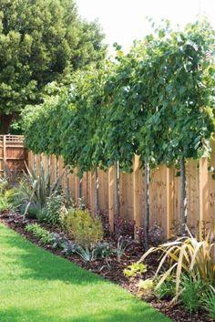 Lebensbaum Thuja Smaragd 120 140 Cm 6 20 Heckenpflanzen Koniferen
