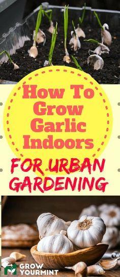 How to grow garlic indoors for urban garrdening #gardens#garlic#growyourmint #urbangardening