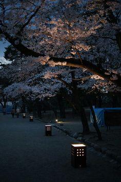 Cherry Blossom Walk, Kyoto, Japan.
