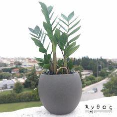 Zamioculcas Zamiifolia Ζάμια, ένα από τα πιο ανθεκτικά και όμορφα φυτά που μπορεί να συναντήσουμε! Τα γυαλιστερά και εντυπωσιακά φύλλα της, είναι αυτά που την κάνουν περιζήτητη ! Εμείς την συνδυάσαμε με μία γκρι πήλινη γλάστρα, σε σχήμα μπάλας! Έυκολη στη φροντίδα, χωρίς μεγάλες ανάγκες από νερό και ανθεκτικόί ακόμη και σε χώρους χωρίς πολύ φως! Στείλτε φυτά άμεσα σε όλη την πόλη#anthosthessaloniki 🛒 www.anthos.com.gr #plants #homeplants #plantsofinstagram #shoponline #Thessaloniki… Plants, Plant, Planets
