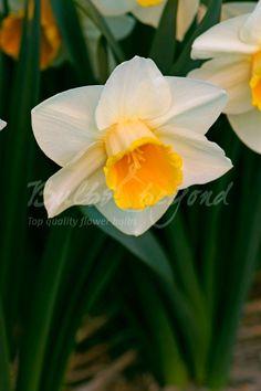 Daffodil - Salome