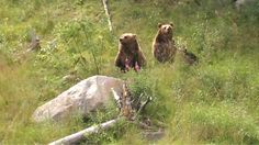 """ Brown bears of Ranua Zoo shadowed by the fuss about the polar bear baby (photo AN) Trips To Lapland, Brown Bears, Polar Bear, Baby Photos, Animals, Ideas, Animales, Grizzly Bears, Animaux"