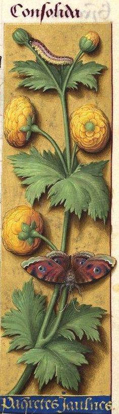 """Paqueretes jaulnes - Consolida (Ranunculus acris L. = bassinet -- La miniature présente l'espèce à fleurs doubles, cultivée dans les jardins sous le nom de """"bouton d'or"""") -- Grandes Heures d'Anne de Bretagne, BNF, Ms Latin 9474, 1503-1508, f°43r"""