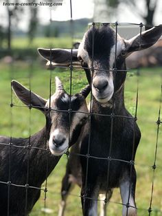 Wisconsin Farm Goats Goat Farming, Country Scenes, Wisconsin, Tours, Vacation, Animals, Vacations, Animales, Animaux