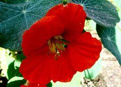Nasturtium bloom.