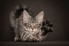 Stttttreeeeeeeeettttttccchhhhh. | This Guy Takes The Most Epic Photos Of Maine Coon Cats You've Ever Seen