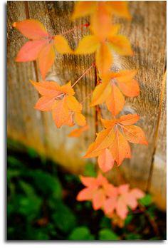 Autumn Vine | Flickr - Photo Sharing!