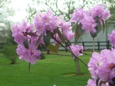 Hard to believe the Rhododendron has lost it flowers already. It was so beautiful a week ago.