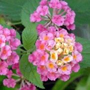 Butterfly friendly plant. Click image to learn more and to add to your own plants list. Lantana 'Athens Rose' is a tender, bushy, spreading, evergreen shrub, sometimes grown as an annual or warm season perennial, with ovate, wrinkled, toothed, dark green leaves and, from late spring into autumn, clusters of salver-shaped flowers with pink outer flowers and yellow inner flowers, maturing to dark rose-pink.