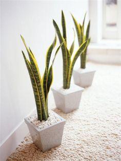Ideas para balconear La Sansevieria es una de las plantas de interior más resistentes que hay.