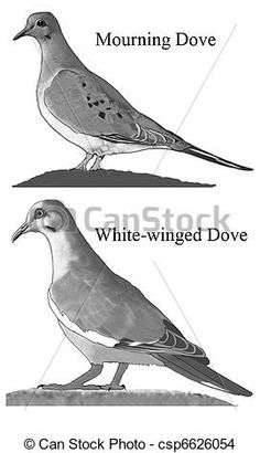 Mourning Doves Http Comps Canstockphoto Can Stock Photo Csp6626054