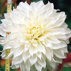 2 Dinnerplate Dahlia - White Perfection(Tuber) - Giant Flowers, Great Cut Flowers,Blooms Summer to fall