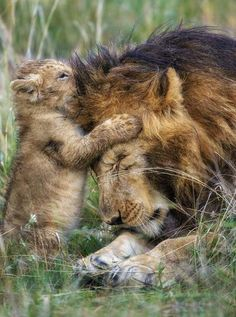 The lion will often fake being hurt by his cub, and roar, to teach his baby how to be fearless.