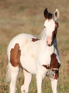 Such a sweet face. Brown and white young Paint horse. Baby Horses, Cute Horses, Horse Love, Wild Horses, Most Beautiful Horses, All The Pretty Horses, Animals Beautiful, Horse Markings, American Paint Horse