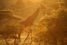 Picture of a giraffe - (NGS Picture ID: 1939144)