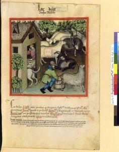Tacuinum Sanitias 15C, Bibliothèque nationale de France, Latin 9333, fol. 57 paysan trayant une brebis