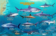 Belize sharks and rays - I saw a Spotted Eagle Ray and a Sandbar shark while snorkeling.