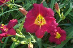 "Pardon Me--- 3"" bl 18"" tall---bright red self---Mid bloom season---$5.00 df"