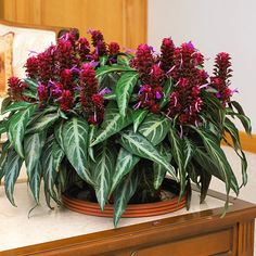 Brazilian Fireworks. ...it's also a great choice for growing outdoors in a shade garden.