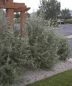 Native and low-water shrubs - Silver buffaloberry 6'-12' tall Shrubs For Privacy, Privacy Hedge, Nitrogen Fixing Plants, Water Wise Landscaping, Park Landscape, Garden Park, Central Oregon, Drought Tolerant, Hedges