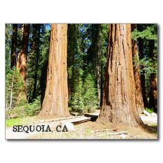 So Beautiful Sequoia Postcard!