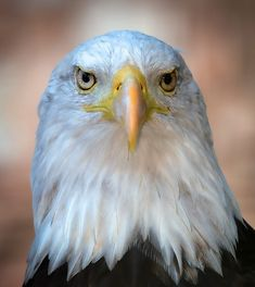 Beautiful Bald Eagle by Peter Comninellis / 500px