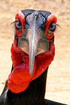 The world's largest hornbill species, Africa's Southern Ground Hornbill, is found only from Kenya to South Africa. They're huge, prehistoric-looking birds of open grasslands and savanna in sub-Saharan Africa. This species is critically endangered! Pretty Birds, Beautiful Birds, Animals Beautiful, Beautiful Eyes, Hello Beautiful, Gorgeous Girl, Exotic Birds, Colorful Birds, All Birds