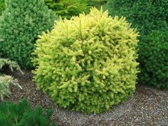"""Minature -  Picea glauca 'Goldilocks'  This plant will be difficult to locate, but it is well worth the search. It is bright yellow throughout the year and is free from sun burn in most areas. It grows about 3 cm (1""""+) per year and naturally becomes a dense, yellow ball in the garden. Use for a color accent that will not outgrow its space for many years."""