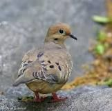 Mourning Dove- they visit our yard Dove Pigeon, Bird People, Mourning Dove, Bird Book, Kinds Of Birds, Backyard Birds, Cute Birds, Beautiful Birds, Beautiful Creatures