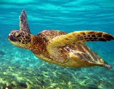 Green Sea Turtle shot in Kona, Hawaii.  ;)