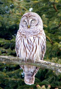 Image result for sleeping barred owl