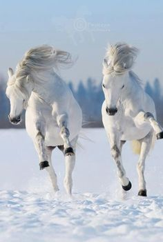 White horses frolicking in snow......