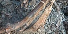 How to find fat wood a natural fire starter