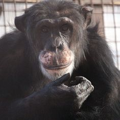 BURRITO CHIMPANZEE : Burrito was born at White Sands Research Center on January 6, 1983. He never had a chance to truly be a chimpanzee before coming to the sanctuary. Today, Burrito is super goofy. He is often sweet and playful with caregivers – he likes to play chase and tug-of-war. Discover more about this charming adorable chap…..