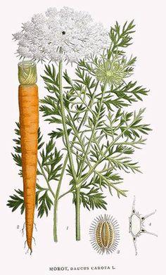poison_Daucus_carota Queen Anne's lace or ild carrot Vintage Botanical Prints, Botanical Drawings, Botanical Art, Botanical Illustration, Vintage Prints, Illustration Art, Art Floral, Impressions Botaniques, Illustration Botanique