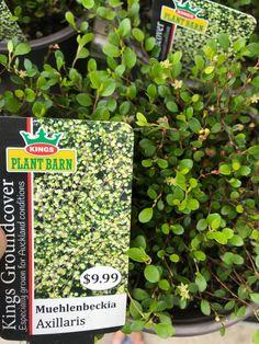 Muehlenbeckia axillaris Native Plants, Conditioner