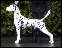 Dalmatian - BPIS Ch Folklore Horizon Liberty Estate's Watchman aka Sly at 2 years of age   Estate Dalmatians